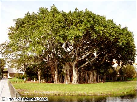 National Tree of India
